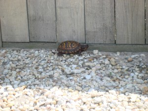 Turtle-300x225