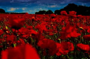 Poppy Field Photo by Jon Bunting, via flickr